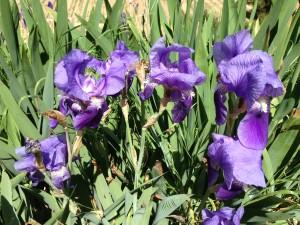 Lliris florits només uns dies. És el seu gran moment.