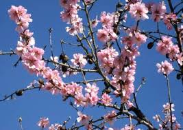 Una branca d'ametller florit