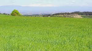Un sembrat de La Segarra en aquestes èpoques de l'any