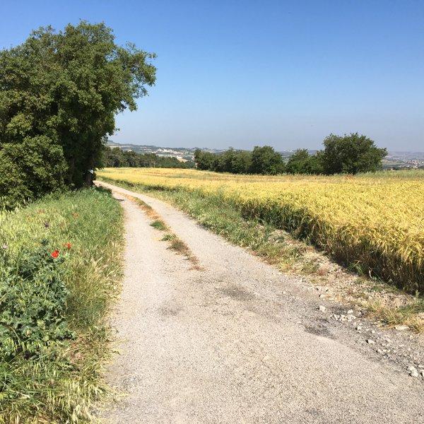 Un camí al costat d'un sembrat que es tenyeix de groc i apaga el verd. S'atança la fí d'un cicle.