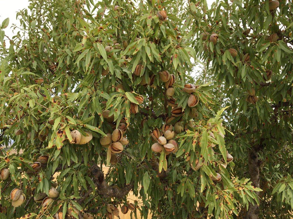 Un ametller a punt de lliura el fruit. Les olors de les ametlles són incofusibles.
