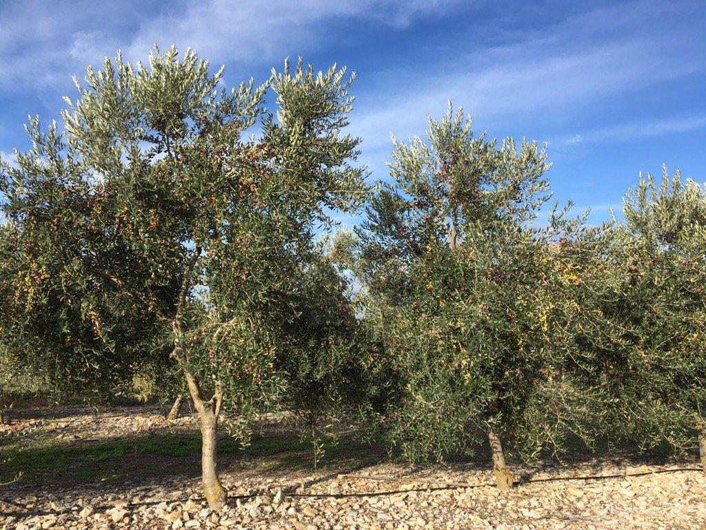 Una plantada d'olivers carregats de fruit abans de collir. L'aigua ha fet miracles. Bona anyada allí on hi ha hagut el gota a gota.